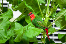 A Red Headed Parrot Finch With...
