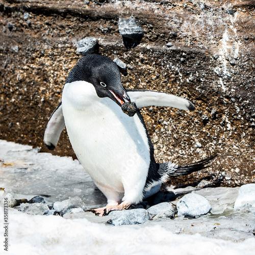Fotografija It's Adelie penguin (Pygoscelis adeliae) witha stone in a beak near a rock on th
