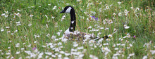 Canada Goose Resting In A Meadow.