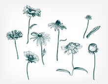 Vector Background Hand Drawn Engraving Flower Rudbeckia Design Elements