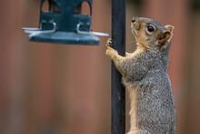 Fox Squirrel Climbing Bird Fee...