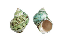 Periwinkle Shells Blue Green O...