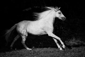 Obraz na płótnie Canvas Weißes Pony im Galopp - schwarz-weiß