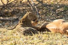 Leopard Panthera Pardus Restin...
