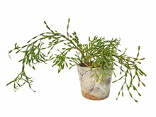 Rhipsalis In Cement Pot Isolated On White Background With Copy Space.Rhipsalis Are Cactus Family. Is A Tree That Has No Leaves And Can Branch Out Freely.