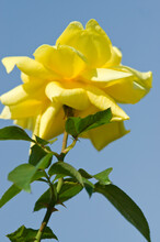 """The Name Of This Rose Is """"Toulouse Lautrec""""."""