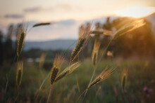 Grass Spikelets At Sunset In T...