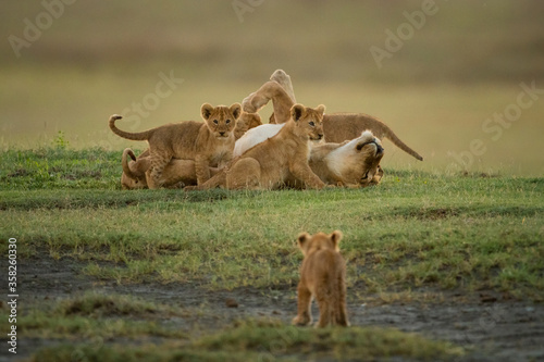 Stampa su Tela Cub approaches others surrounding lioness on grass