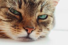 A Beautiful Green-eyed Cat Lie...