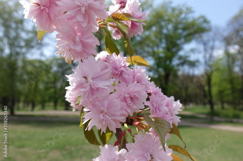 Fotografia, Obraz Close shot of double pink flowers of sakura in April