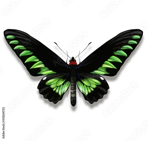 Rajah Brooke's birdwing butterfly also named Trogonoptera brookiana with black and green coloured wings from Borneo Wallpaper Mural