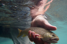 Catch Of A Brown Fly Trout