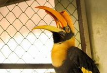 Toucan With Open Mouth In A Cage At A Zoo
