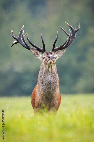 Proud red deer, cervus elaphus, stag looking into camera from front view in vertical composition. Impressive wild animal with massive antlers watching in autumn nature. Mammal with brown fur on meadow