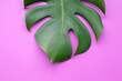 canvas print picture - Green leaves of monstera or split-leaf on color background.