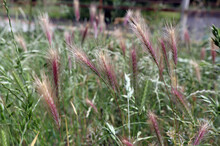 Grass Awns That Can Be Dangerous For Dogs. June Grass Ears.