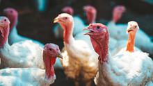 Breeding Turkeys On A Farm. White Turkey Portrait Walking In Paddock. Flock Of Turkeys Walking In Paddock On Farm. Pasture Raised Turkey On A Farm.