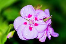 Gocce Su Geranio 01 - Fiore Rosa Con Striature Rosse E Sfondo Verde Scuro Con Gocce Di Pioggia Sui Petali