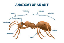 Ant Anatomical Structure Vector Illustration. Labeled Biological Body Scheme