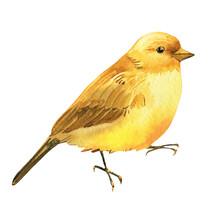 Yellow Bird, Canary Watercolor Drawing, Boho Illustration