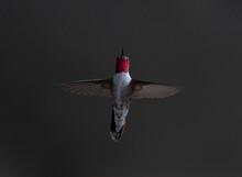 Colorado Red Throated Hummingbird 6