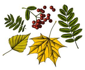Color engraved vintage drawing of a rowan branch with berries and autumn leaves