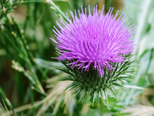 Close-up Of Thistle Blossoms