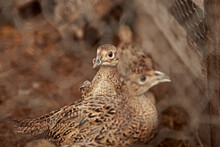 Gamekeeper's Pheasants