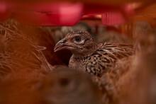 Gamekeeper's Pheasants
