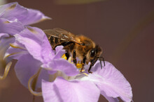 Honey Bee On A Delphinium Flow...