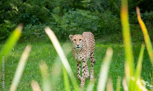 ghepardo che cammina nella natura selvaggia della Canvas Print