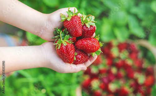 Fototapeta A child with strawberries in the hands. Selective focus. obraz
