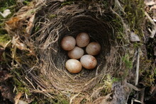 A Robin Nest Photographed In W...