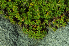 Green Moss On Stone Wall