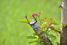 Grafted Cherry Fruit Tree.