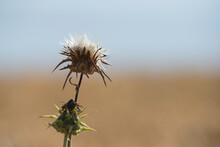 Scotch Thistle In The Field.