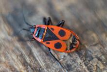 Red Beetle Pyrrhocoris Apterus...
