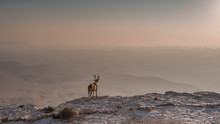 A Fearless Ibex Overlooks The ...