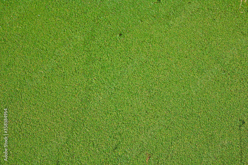 green algae covering the surface of a river Canvas-taulu