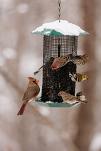 Cardinal, House Finch And Gold Finches On Winter Feeder