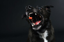 Black Dog Catches Treats