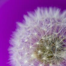 Dandelion White Purple Fluff Light
