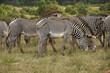 Grevy's zebras grazing, Samburu Game Reserve, Kenya