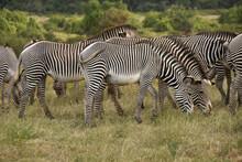 Grevy's Zebras Grazing, Sambur...