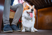 A Beautiful Corgi Dog Sits Und...