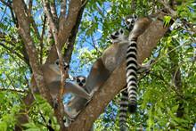 Ring-tailed Lemurs Sitting In ...