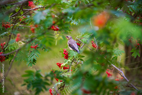 Juvenile cedar waxwing eating a mountain ash berry Canvas Print