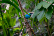Exotic Brazilian Colorful Bird. Tangara Seledon