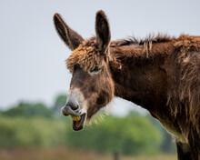 Braying Poitou Donkey Braying ...