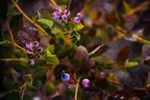 Blueberry Plant Ripening In California